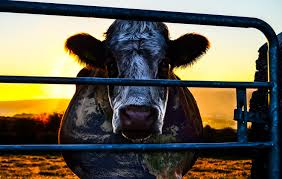 Cowspiracy, un documental impactante.